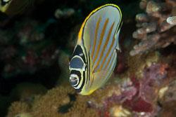 BD-140324-Apo-3614-Chaetodon-ornatissimus.-Cuvier.-1831-[Ornate-butterflyfish].jpg